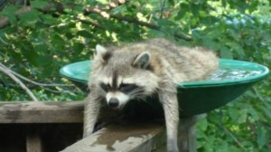 cool_raccoon